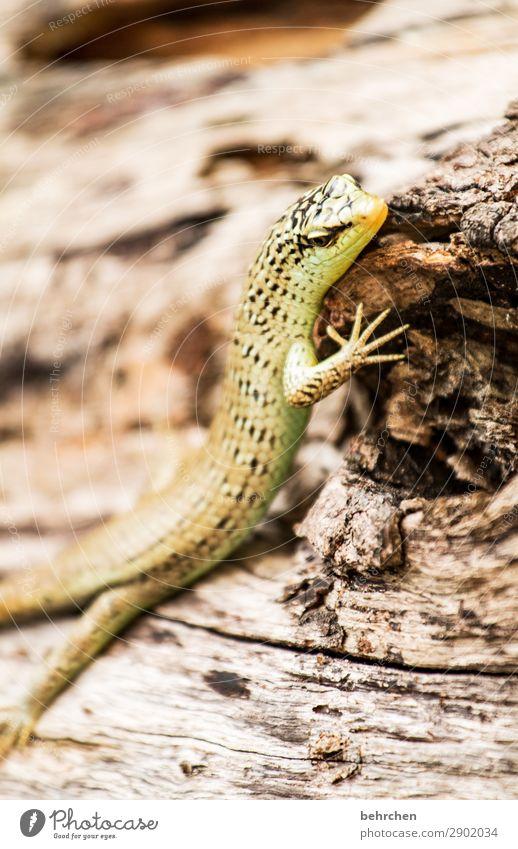 einfach mal chillen Ferien & Urlaub & Reisen Tourismus Ausflug Abenteuer Ferne Freiheit Baum Urwald Wildtier Tiergesicht Schuppen Echsen Echte Eidechsen Gecko