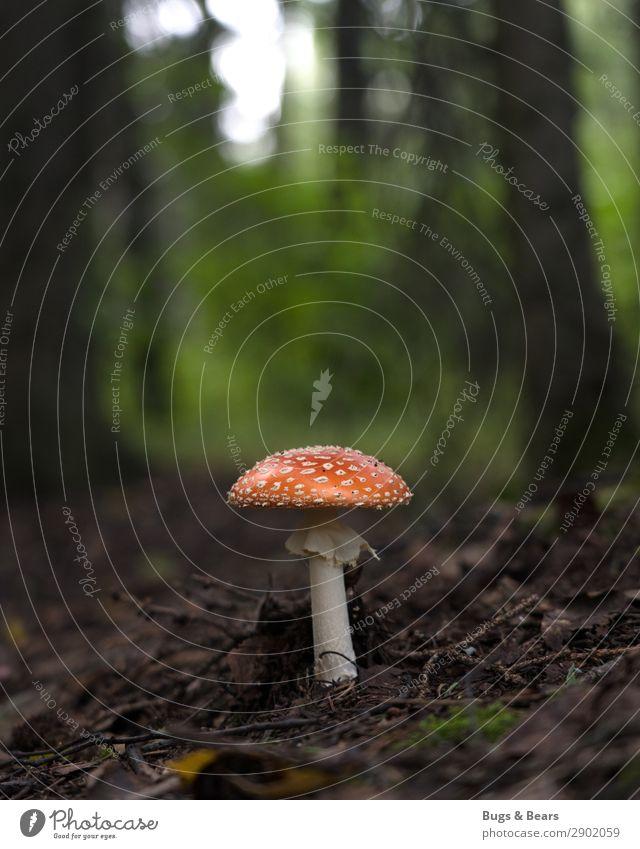 Wer steht denn da im Wald? Natur Landschaft Pflanze ästhetisch Pilz Pilzhut Fliegenpilz Gift ungenießbar gefährlich Waldboden Boden Alaska Schirm gepunktet