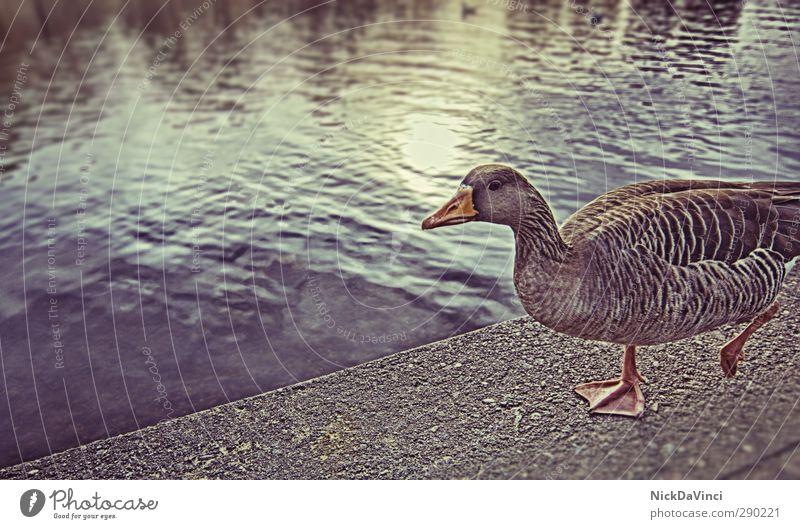 Walk the line Tier Wege & Pfade Schwimmen & Baden See gehen Park Tierfuß wandern Seeufer Tiergesicht entdecken Ente watscheln