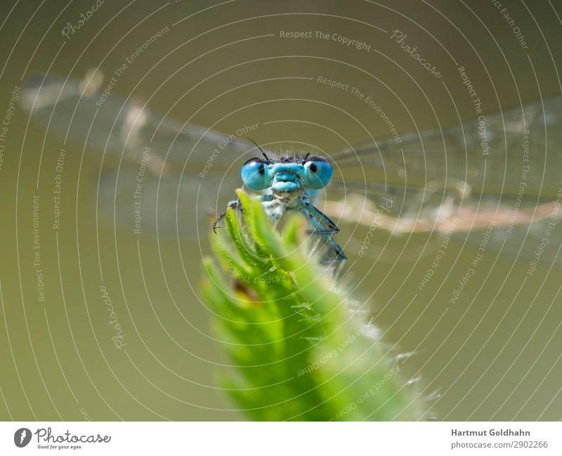 Vorderansicht einer kleinen blauen Libelle. Tier Wildtier 1 sitzen natürlich Natur Insekt Flügel Auge Nahaufnahme Pflanze Pflanzenteile Klein Libelle Bach