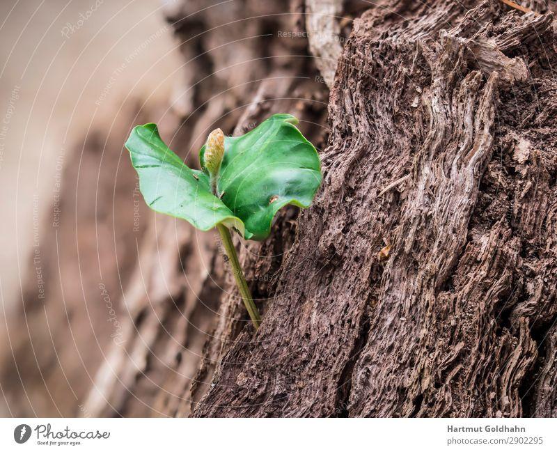 Ein kleiner Keimling der Rotbuche. Natur Pflanze Frühling Baum Buche Wachstum grün Trieb Blatt Pflanzenteile Baumstumpf Jahreszeiten Wald Farbfoto