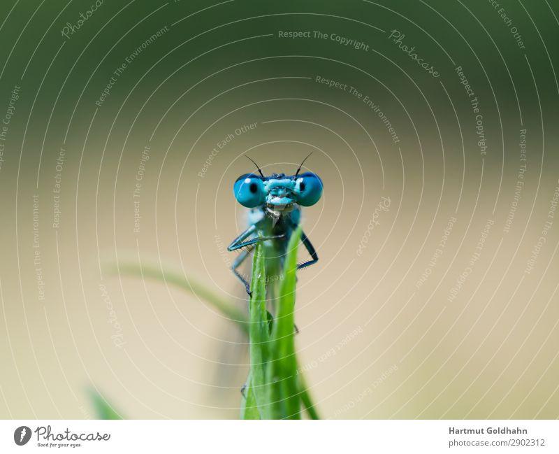 Ansicht auf die Augen einer blauen Libelle. Tier 1 sitzen klein Natur Insekt Gras Azurjungfer Sommer Lebewesen Klein Libelle frontal Bach Gewässer Farbfoto