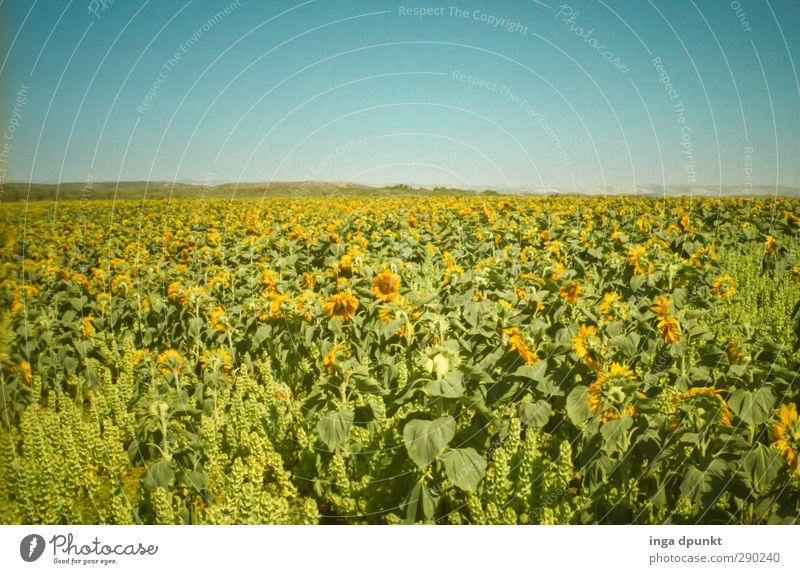 Sonnenfeld schön Sommer Pflanze Landschaft Umwelt Blüte Feld Energie Schönes Wetter ästhetisch Landwirtschaft Jahreszeiten Ernte Ackerbau Sonnenblume Qualität
