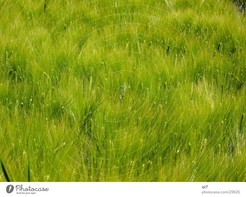 UrBrot Feld grün Gerste Gras Sommer heiß Wachstum Ernährung Mehl Futter Getreide Lebensmittel