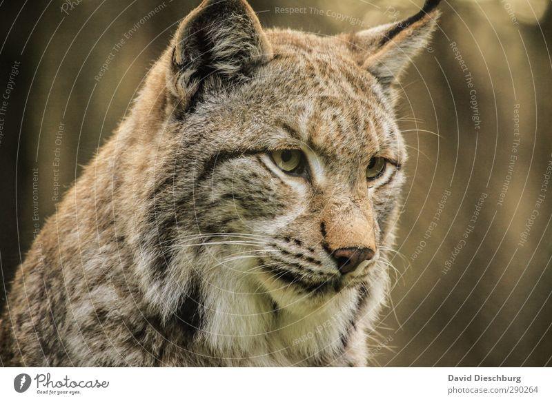 Luchs(uriös) Natur Schönes Wetter Tier Wildtier Katze Tiergesicht Fell 1 braun gelb gold schwarz weiß Wildpark Wachsamkeit Blick schön Schnurrhaar Konzentration
