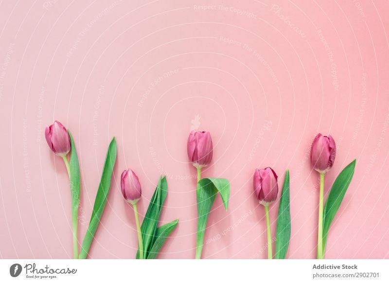 Rosa Tulpen auf klarem Hintergrund rosa Blume Frühling geblümt Blüte Natur Blumenstrauß Pflanze grün Blütenblatt Blatt schön hell natürlich Beautyfotografie