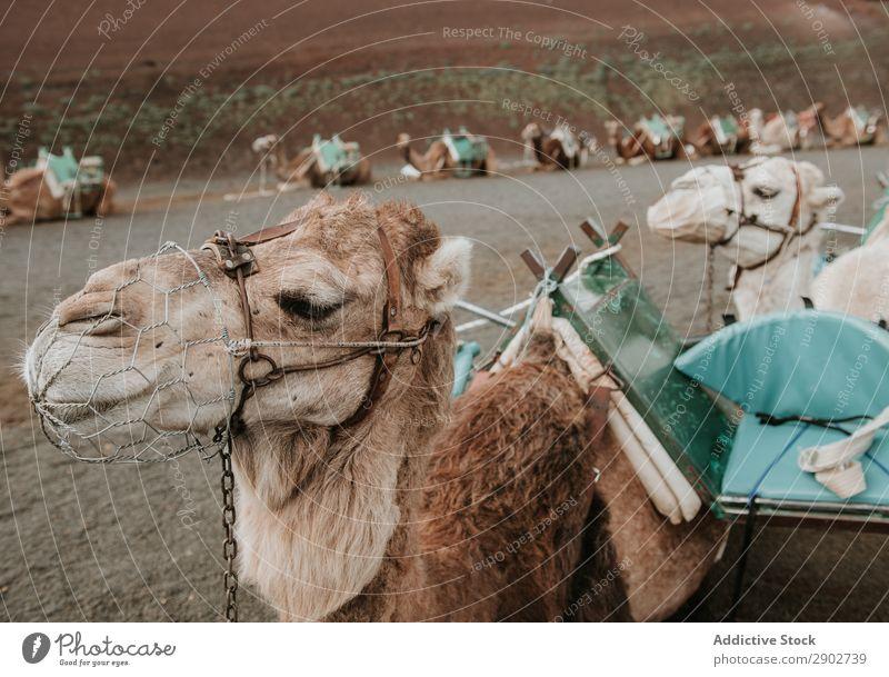Kamele ruhen in der Nähe von Hügeln Sattel Landschaft Ferien & Urlaub & Reisen Himmel Wolken Lanzarote Spanien Herde Karavane lügen Boden Berghang Natur