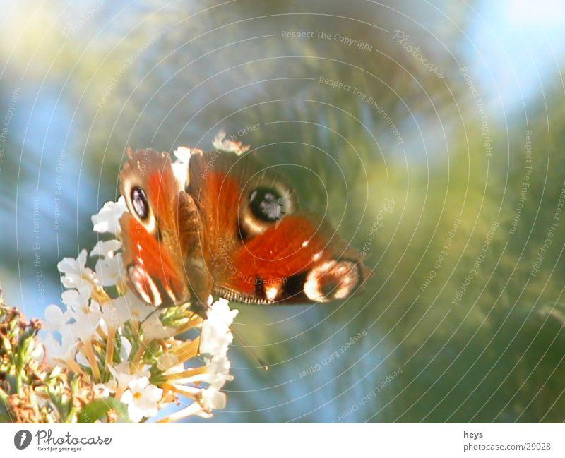 Butter.Fly. Schmetterling Sommer Fliederbusch Tagpfauenauge Tier Garten Natur
