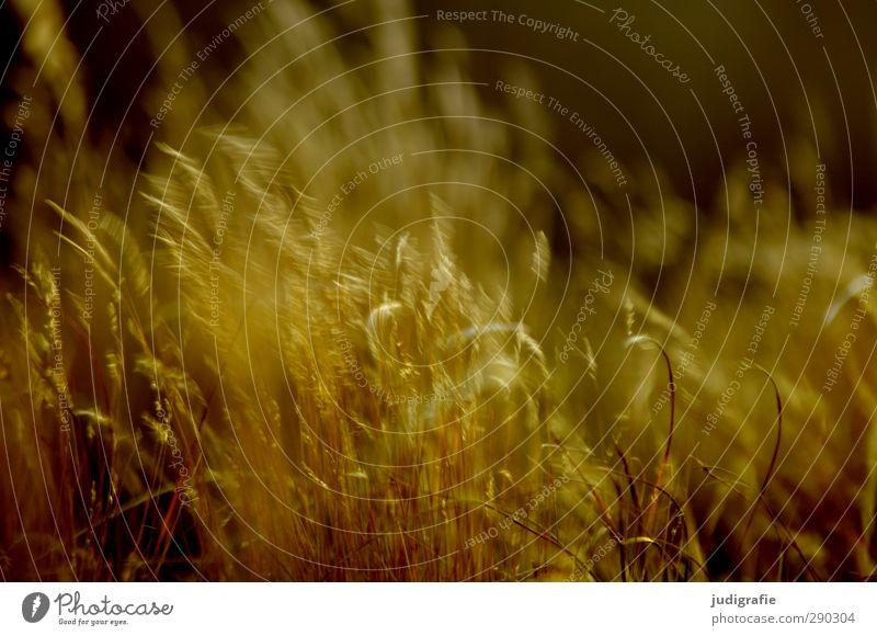 Gras Natur Pflanze Umwelt Wärme Bewegung Küste Stimmung natürlich gold Wind Klima wild Vergänglichkeit Ostsee
