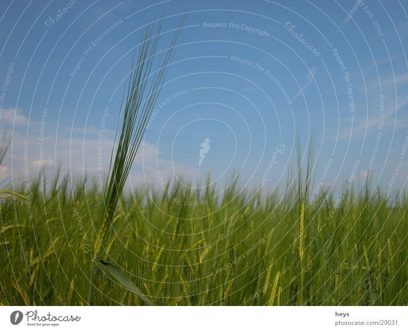Standing alone... Himmel blau Wiese Gras Feld Getreide Halm Kornfeld Gerste Gerstenfeld