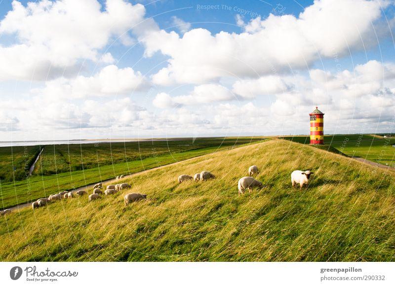 Schafherde an der Küste beim Pilsumer Leuchtturm Himmel Ferien & Urlaub & Reisen Meer Wolken Strand Gras Küste Deutschland Fell Nordsee Düne Stranddüne Schaf Leuchtturm Wolle Lamm