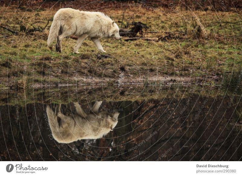 The wolf Natur Seeufer Flussufer Tier Wildtier Fell Pfote 1 braun gelb schwarz weiß Wolf Wildnis Wildpark gefährlich Spiegelbild polarwolf Gehege Wiese Suche