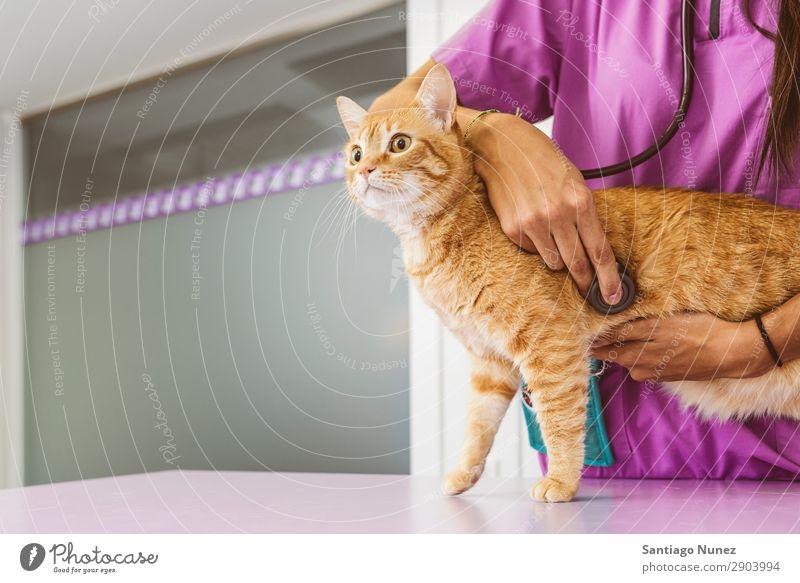 Der Tierarzt macht eine Untersuchung einer süßen, schönen Katze. Veterinär Klinik Arzt Krankenschwester Gesundheit Haustier Uniform professionell