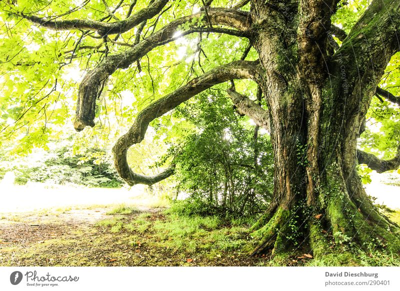 Old irish tree Natur alt grün weiß Sommer Pflanze Baum Tier Blatt Landschaft schwarz Wald gelb Herbst Frühling Garten