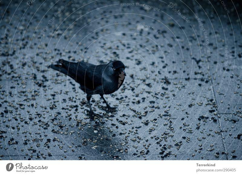 there.it.is. Vogel Tier schwarz Rabenvögel Krähe Flügel Feder Schnabel Appetit & Hunger Stein Asphalt grau dunkel unheimlich