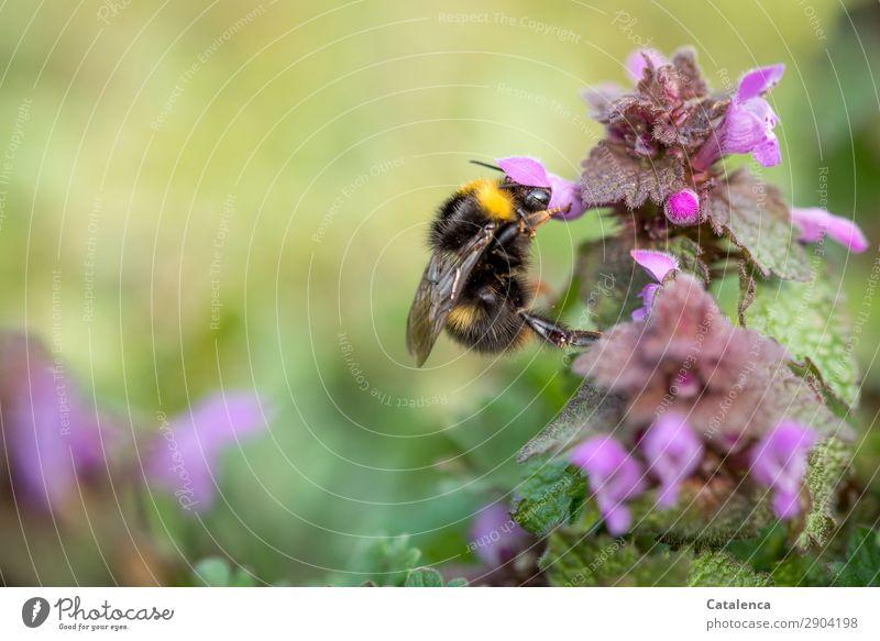 Eine unersättliche Hummel Natur Pflanze schön grün Blume Tier Blatt schwarz gelb Umwelt Blüte Frühling Wiese Gras Garten rosa