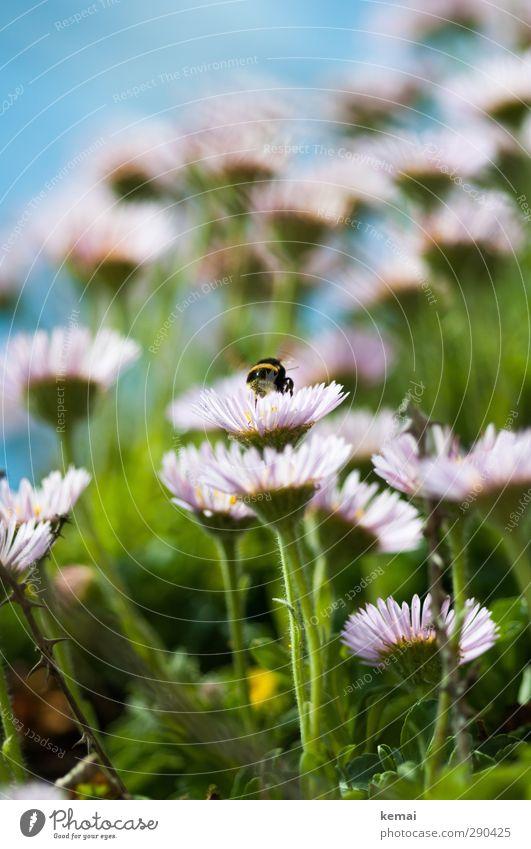 Unterbesetzt   Hummelparadies Umwelt Natur Pflanze Tier Sonne Sommer Schönes Wetter Blume Blüte Wildpflanze Wiese Wildtier Insekt 1 Blühend Fressen sitzen