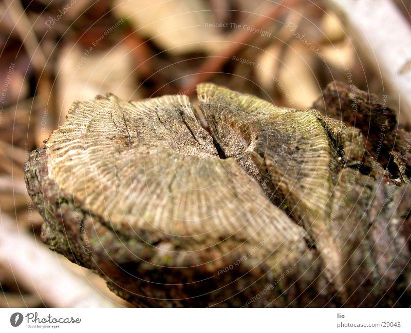 schnittstelle Holz Jahresringe Ast Spalte verfaulen Makroaufnahme