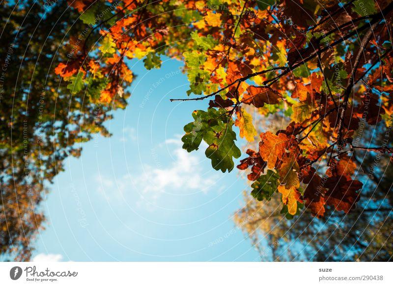 Eröffnung Umwelt Natur Pflanze Himmel Herbst Schönes Wetter Blatt hängen ästhetisch schön natürlich blau grün orange Herbstlaub herbstlich Jahreszeiten