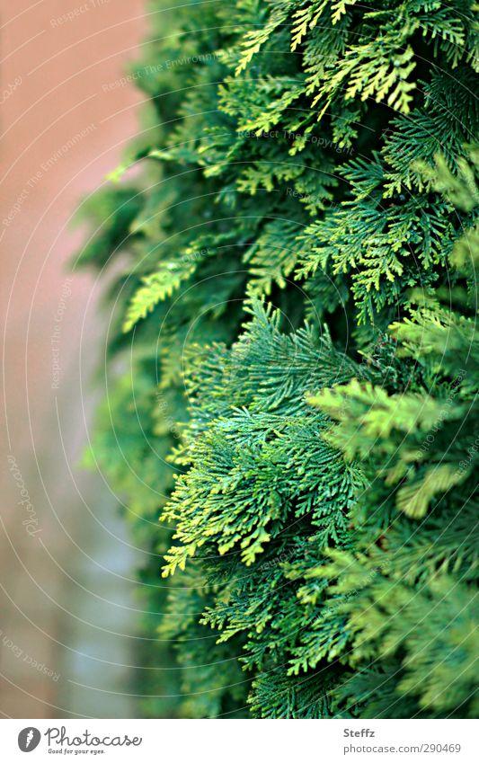 Entlang der Hecke Thujen Thuja Lebensbaum Privatsphäre Sträucher Grünpflanzen Sichtschutz Schutz Hecken Heckenpflanze Abgrenzung grün Ordnung nah Ordnungsliebe