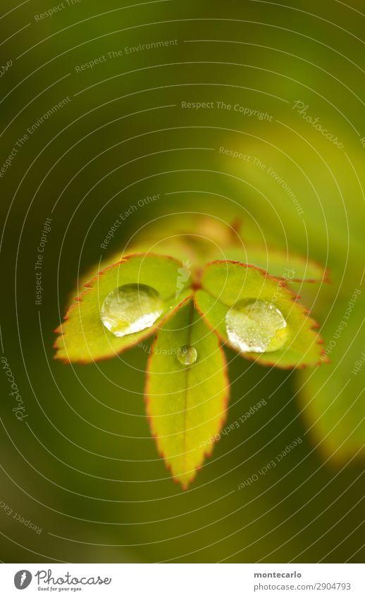 im gleichgewicht Natur Pflanze grün Blatt Umwelt Frühling natürlich klein frisch authentisch Sträucher Wassertropfen einzigartig nass Spitze rund