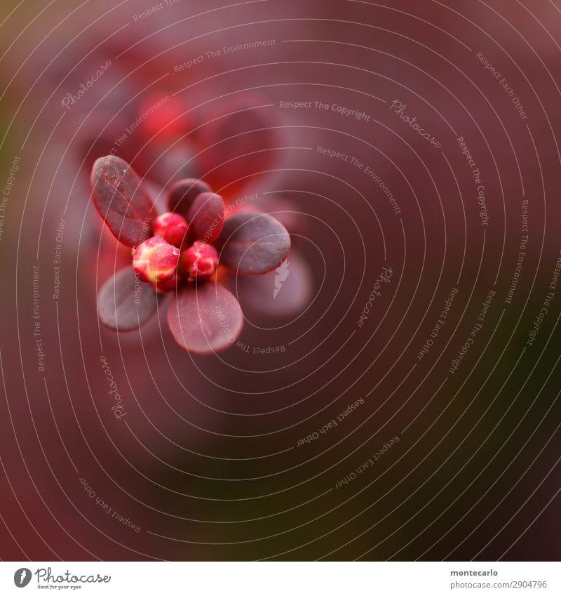 hecke Natur Pflanze rot Blatt Umwelt Blüte Frühling natürlich klein wild retro frisch authentisch Sträucher weich neu