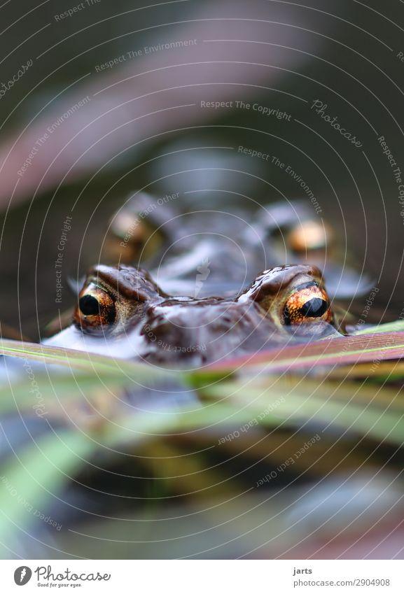 große augen Seeufer Tier Wildtier Frosch 2 Tierpaar Schwimmen & Baden Blick Natur Kröte Auge Farbfoto mehrfarbig Außenaufnahme Nahaufnahme Menschenleer
