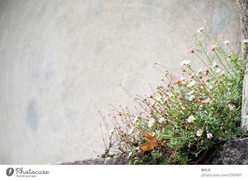 zart besaitet Umwelt Natur Frühling Sommer Moos Garten Park Felsen Dorf Haus Mauer Wand Fassade Blühend Duft Wachstum hell rosa weiß Lebensfreude