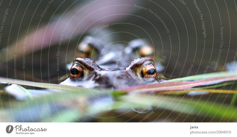 große augen II Natur Tier Auge See Schwimmen & Baden Tierpaar Seeufer Frosch Kröte