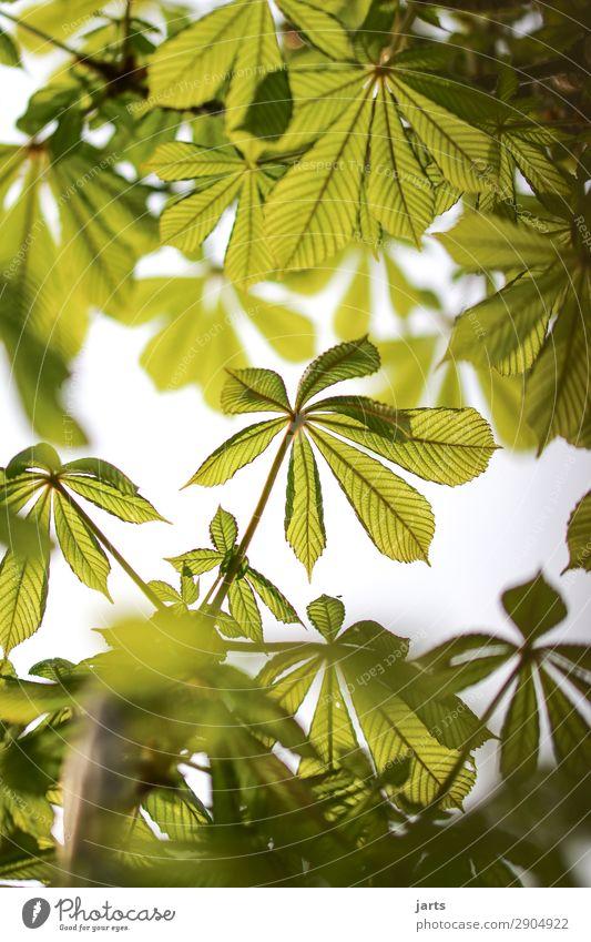 grün Pflanze Frühling Sommer Schönes Wetter Baum Blatt Wald frisch natürlich Natur Kastanienbaum Farbfoto Außenaufnahme Menschenleer Textfreiraum oben