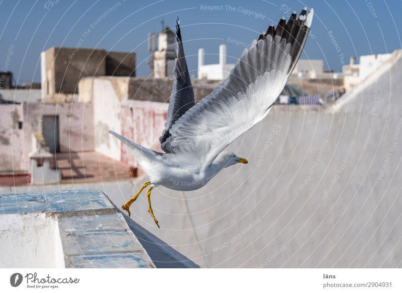 Flug Essaouira Marokko Afrika Stadt Mauer Wand Dach Tier Vogel Möwe 1 fliegen Beginn Abheben Flucht Farbfoto Außenaufnahme Menschenleer Textfreiraum rechts