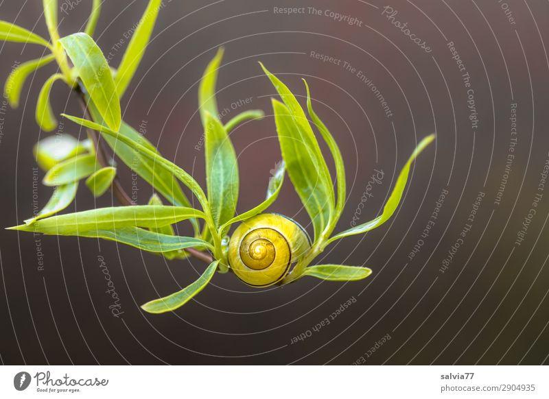 Weidenzweig Umwelt Natur Frühling Pflanze Sträucher Blatt Zweige u. Äste Garten Schnecke 1 Tier braun gelb grün elegant Glück Leichtigkeit Häusliches Leben
