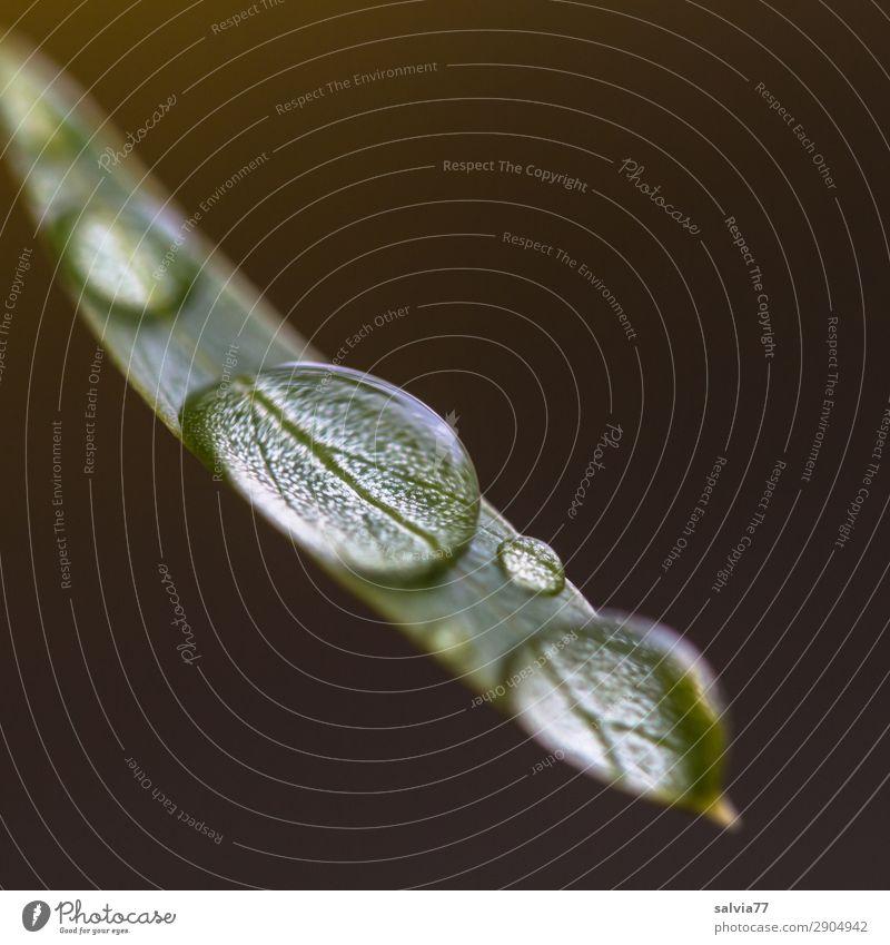 Tropfen Umwelt Natur Urelemente Wasser Wassertropfen Regen Blatt frisch nass Leben Kontrast Tau Farbfoto Gedeckte Farben Außenaufnahme Makroaufnahme