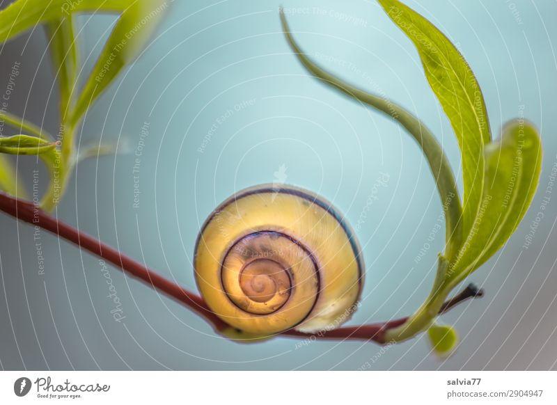Balance Pflanze Tier Blatt Umwelt Garten ästhetisch Schutz Weide Zweig Schnecke Spirale Symmetrie Schneckenhaus
