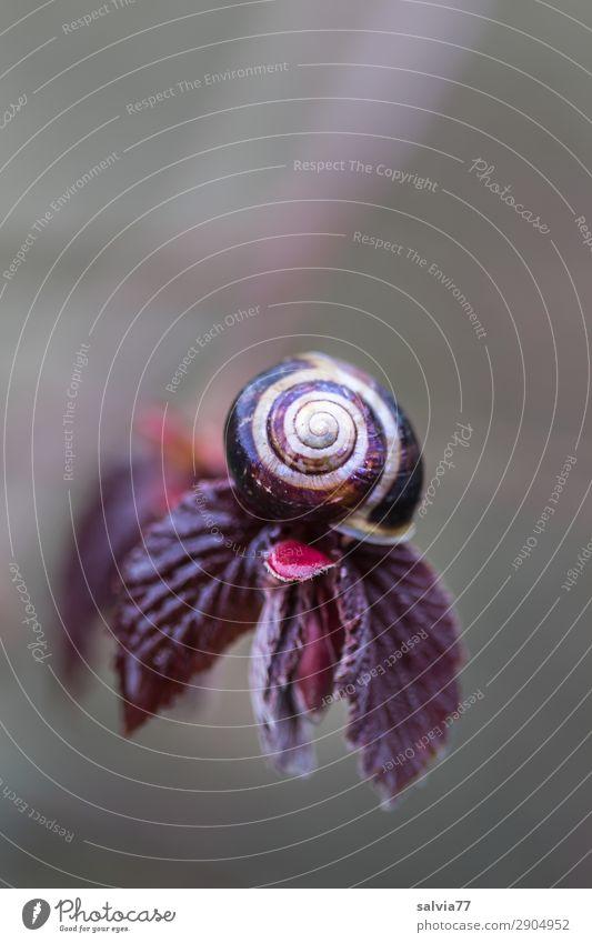 Haselnussschnecke Umwelt Natur Pflanze Frühling Sträucher Blatt Zweig Blattknospe haselnussbraun Garten Park klein oben rund Schutz Spirale Strukturen & Formen