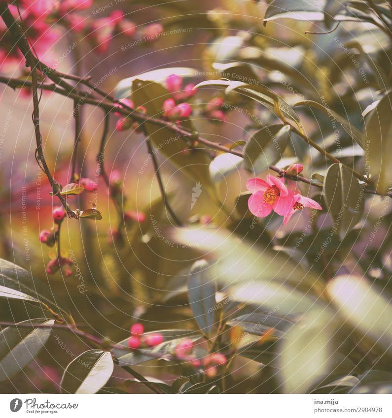 Bald! Umwelt Natur Frühling Pflanze Blume Sträucher Blatt Blüte Garten Park Beginn Duft exotisch Frieden Hoffnung träumen Umweltschutz Idylle rosa Blühend