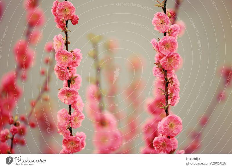 _ Umwelt Natur Pflanze Frühling Sommer Blume Sträucher Rose Garten ästhetisch Duft rosa elegant Hoffnung Idylle Optimismus rein Religion & Glaube schön Wachstum
