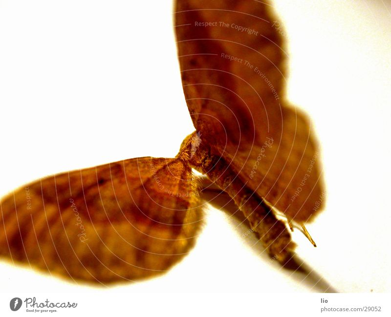 ausgeflogen Insekt Schmetterling Tod Sammlung Flügel