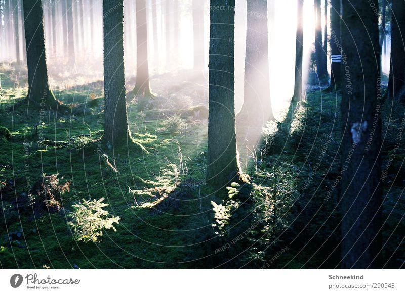 Lichterflut Umwelt Natur Landschaft Pflanze Tier Urelemente Erde Sonne Sonnenlicht Schönes Wetter Baum Gras Sträucher Moos Grünpflanze Wildpflanze Wald