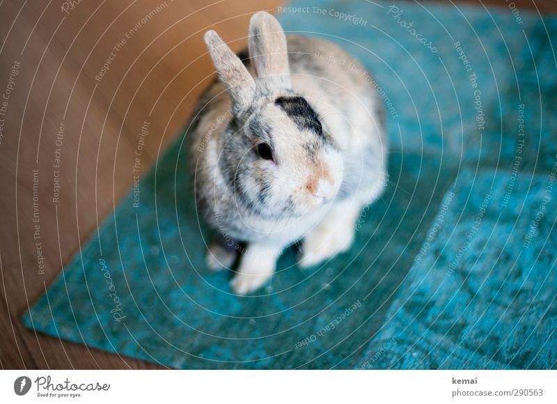 Teppichratte Tier Haustier Tiergesicht Fell Hase & Kaninchen Zwergkaninchen Zwerghase Hasenohren 1 sitzen schön klein niedlich türkis Farbfoto Gedeckte Farben