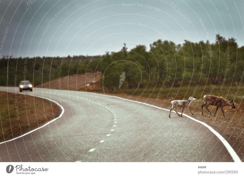 Wildwechsel Ausflug Umwelt Natur Landschaft Pflanze Tier Klima Wiese Verkehr Verkehrswege Autofahren Straße Wege & Pfade PKW Wildtier 2 Tierfamilie laufen