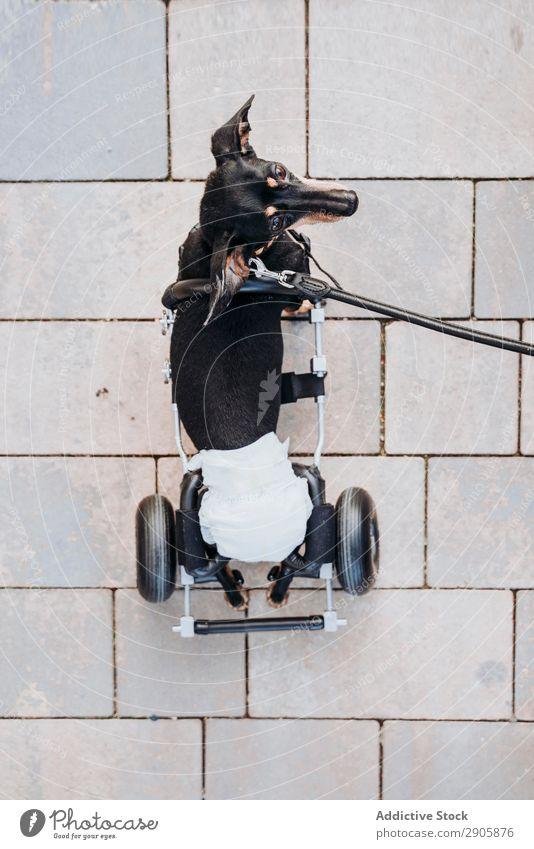 Hund mit Rollstuhl auf der Straße gelähmt Behinderte Dackel laufen deaktiviert physisch Erholung Medikament ungültig Krankheit heimisch Haustier Tier Aufschlag