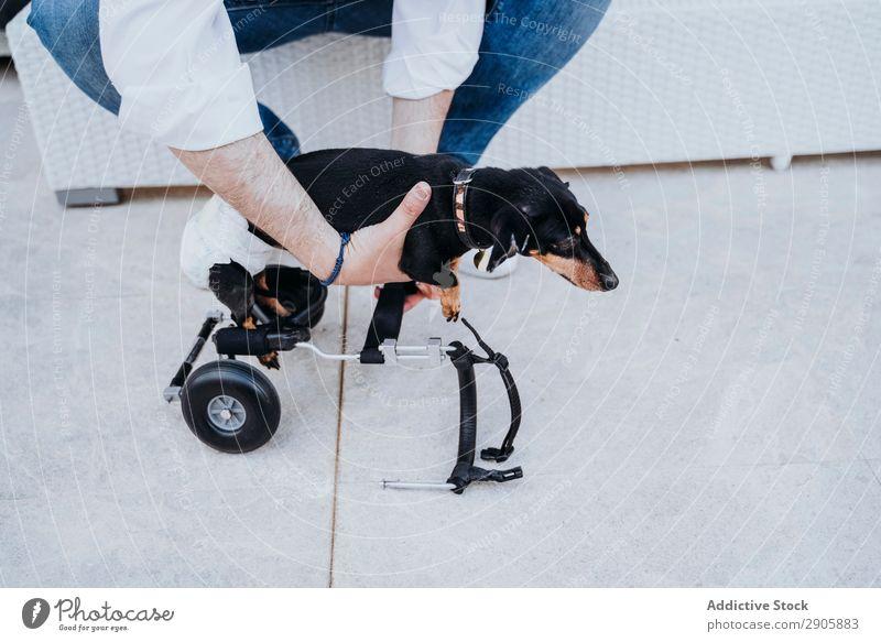 Mann, der den Rollstuhl am Hund befestigt. gelähmt Behinderte Dackel Fixierung deaktiviert physisch Erholung Medikament ungültig Krankheit heimisch Haustier