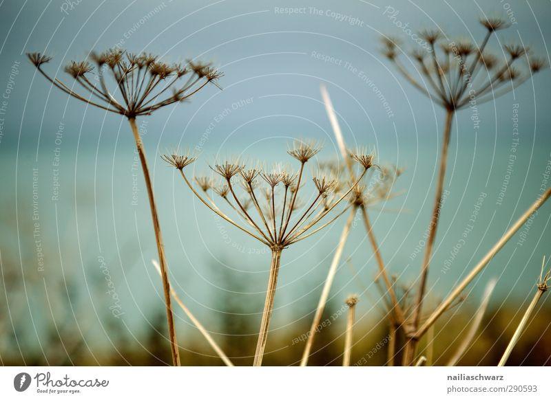 Verblühen Umwelt Natur Pflanze Herbst Gras Blüte Wildpflanze Doldengewächse (Apiaceae) Wiese Feld verblüht dehydrieren natürlich stachelig trocken blau braun