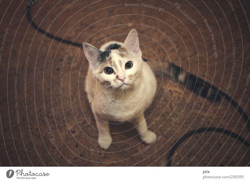 lina Tier Haustier Katze 1 Tierjunges schön Neugier Farbfoto Innenaufnahme Menschenleer Textfreiraum links Textfreiraum rechts Kunstlicht Tierporträt Blick