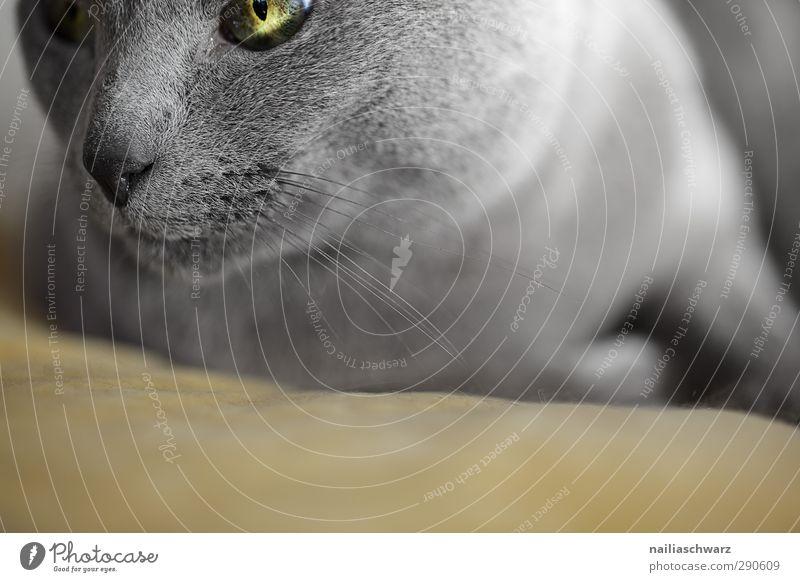 Katze Katze blau schön Tier ruhig Erholung gelb Zufriedenheit Fröhlichkeit weich beobachten Neugier Gelassenheit entdecken Haustier kuschlig
