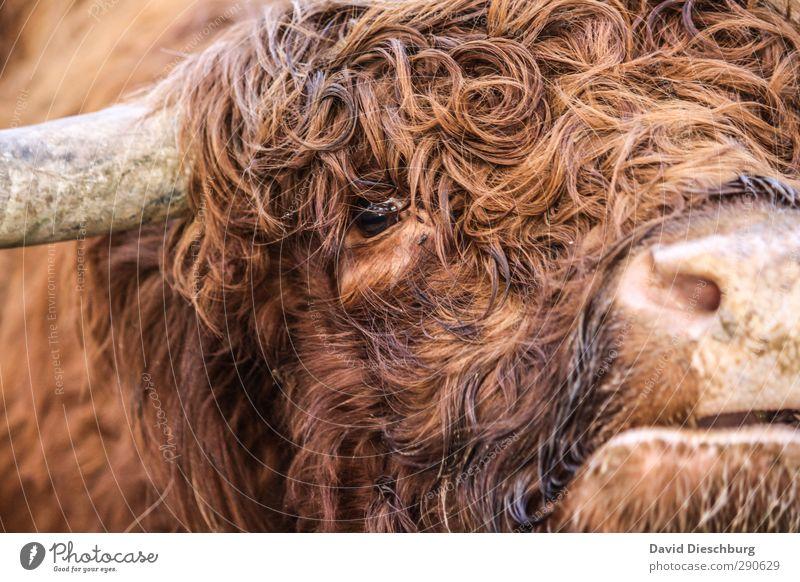 Man nannte ihn Locke Tier schwarz Auge Kopf braun orange Landwirtschaft Fell Tiergesicht Locken Kuh Horn Nutztier Viehzucht Herde Maul