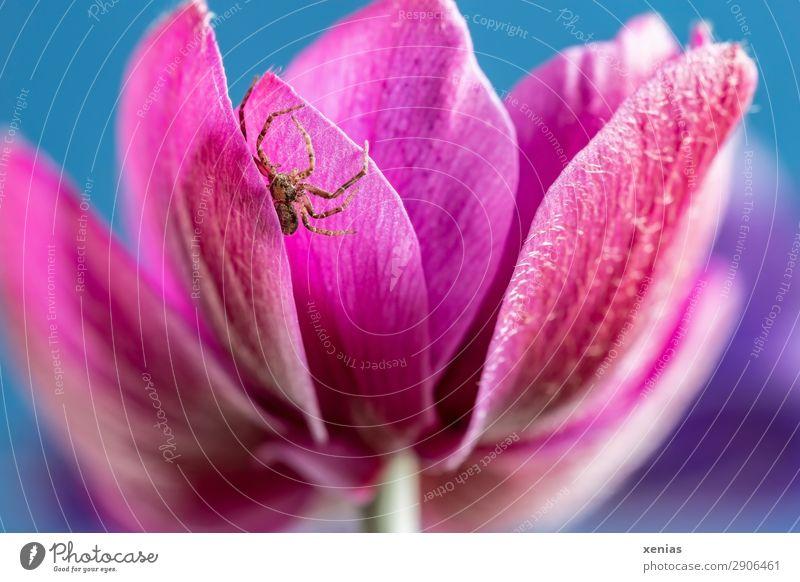 Kleine Spinne an der Anemone Sommer blau Blume Tier Blüte Frühling klein braun rosa Wildtier verstecken Anemonen Raubspinne