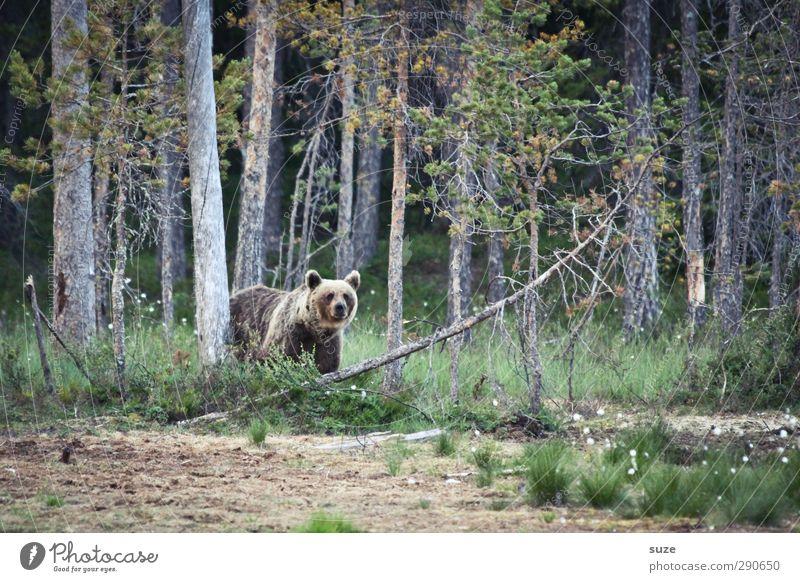 Honigbär Natur grün Baum Landschaft Tier Wald Umwelt Wiese außergewöhnlich braun Erde Kraft wild Wildtier authentisch bedrohlich