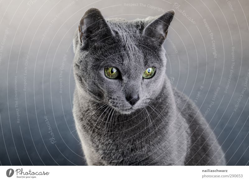 Portrait einer Katze blau grün schön Tier ruhig grau träumen glänzend Zufriedenheit elegant leuchten niedlich beobachten Freundlichkeit Neugier